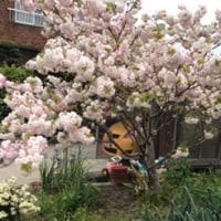 桜は満開になりました