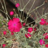 スイセンノウの赤、よく目立つ。