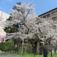 おいら、桜の満開に立ち会う (≧◇≦)