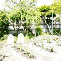 夏野菜植え付け