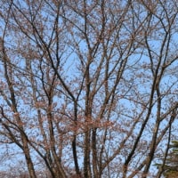 昭和公園と桜と新クロスバイク