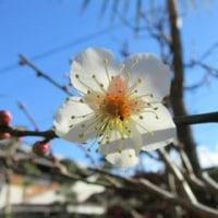厳寒の庭にも春の色-梅と水仙