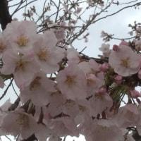 桜満開? でもお花見せず・・・