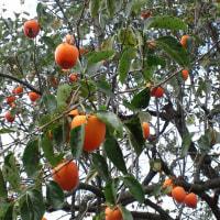 干し柿と樽抜き柿を作りました