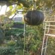 小玉カボチャ収穫