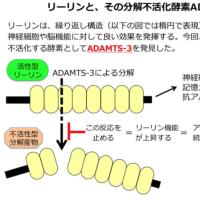 脳たんぱく質の分解酵素を特定。