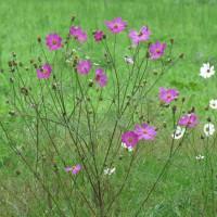 咲き残るコスモス