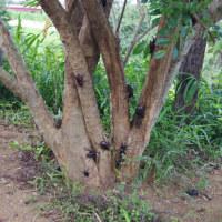 カブトムシのなる木