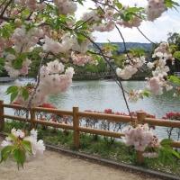 京都 長岡天満宮の霧島ツツジ 八重桜〈松月桜・牡丹桜〉 (友人投稿)