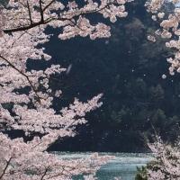 桜の便りin上野城&君ケ野