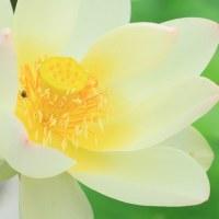 黄色いハス