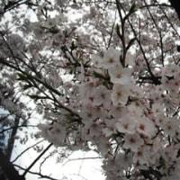 桜・満開も強風&雨でどうなるのかな?
