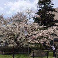 石割桜2017~夜桜篇