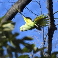 長い尾を広げて飛ぶ、ワカケホンセイインコ。