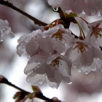 17年4/27~中山道~宮ノ越宿~徳音寺~サクラ満開