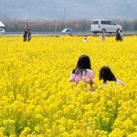笠岡の菜の花畑