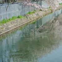 2012年桜の画像