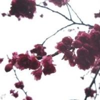 雨と寒緋桜 3.26