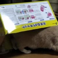 またまた! 段ボール箱をかぶる猫だいず😸【猫日記こむぎ&だいず】2017.04.25