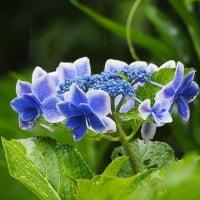 水無月の雨に濡れる庭の花