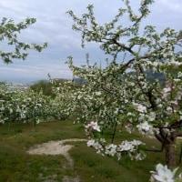 りんごの花が満開・・・の巻