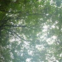 樫の木と枯れた梅の木の伐採