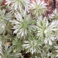 草木染めのマット