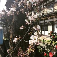 ついに桜が咲きました!
