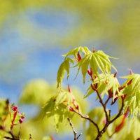 早春の内子町の小田深山渓谷 (新緑と桜)