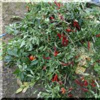 夏野菜の撤収