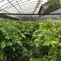 自然栽培は強い!台風に堪えた有機農園のグァバたち(*^_^*)
