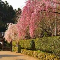 奈良・大野寺の枝垂れ桜・・・1