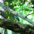 オスとメス、2羽が向き合ったよ、ヤイロチョウ。