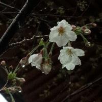 咲きました!