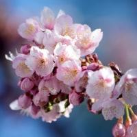 寒桜。。。