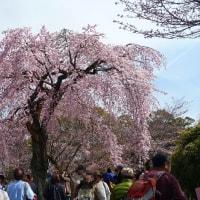 京都醍醐寺の桜