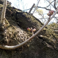 桜の開花は、明日らしいです^^?
