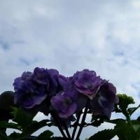 猫の額の庭に咲く紫陽花です