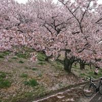 2017お花見ライド(その4)