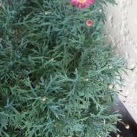 濃いピンクのマーガレットが咲き始めました~~!