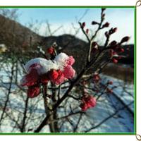 朝から雪がチラチラ梅の木に雪が