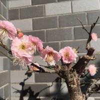 17/02/19  今日のお月様  ギリギリ月齢21日目の下弦のお月様! そして、今日の盆栽「梅ちゃん」は…。