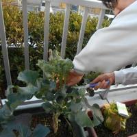 冬野菜の収穫!