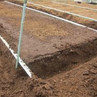 スイートコーンの植え付け準備。施肥、マルチを張りました。