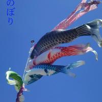 ♪屋根より高い鯉のぼり、かなちゃんの鯉のぼり、今年も大空で元気に泳いでいます。