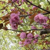 楽しい園芸 八重桜
