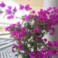 ブーゲンビリアは情熱の花