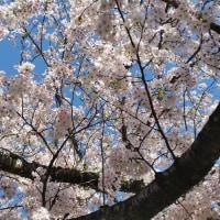 峰山公園 王道のお花見