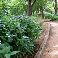 大阪城公園の目立たない場所にありました!・・・アジサイ園
