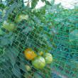 7月下旬の畑模様、高い接ぎ木苗は買わなくても…